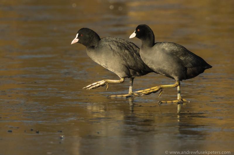 Dancing coots on the ice Walcot Lake - UK Birds
