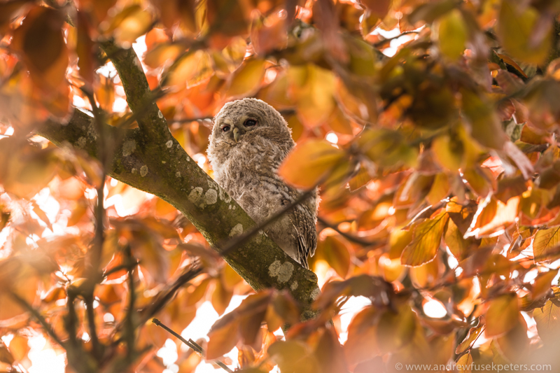 Tawny chick in the tree - UK Owls