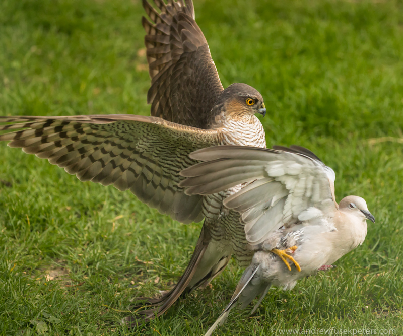 sparrowhawk with collared dove in my garden - UK Hawks
