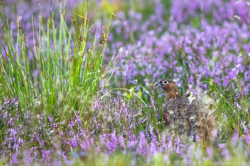 Grouse in the heather Long Mynd Shropshire - UK Birds