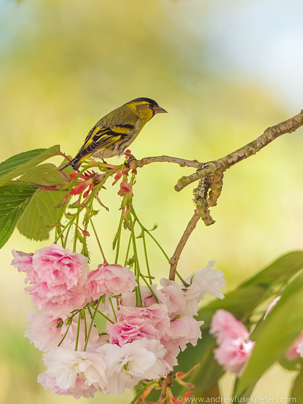 siskin on blossom, Clun - Olympus Wildlife