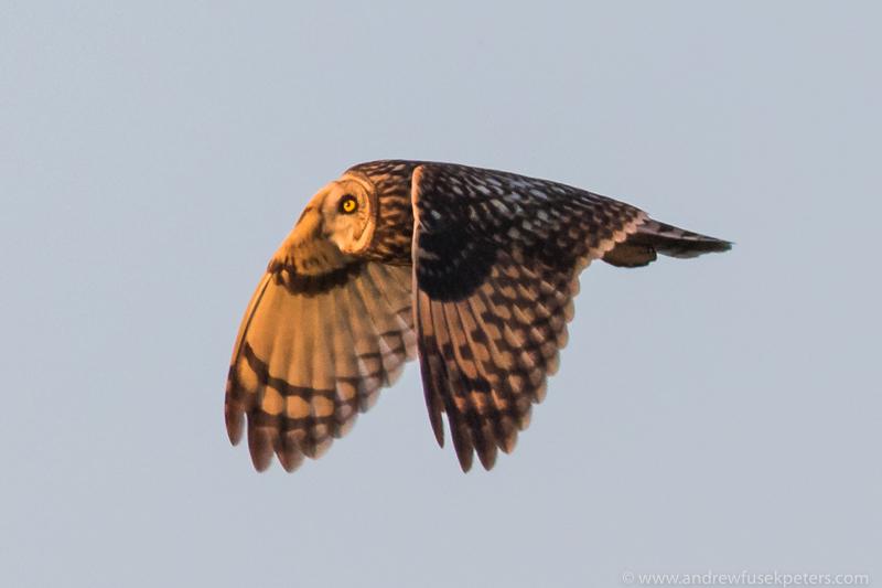 short eared owl sunset 3 - UK Owls