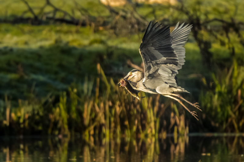 Heron with a pike - Showcase