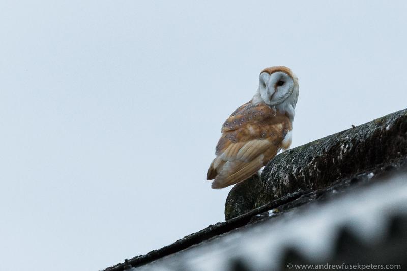 barn owl on shed - UK Owls