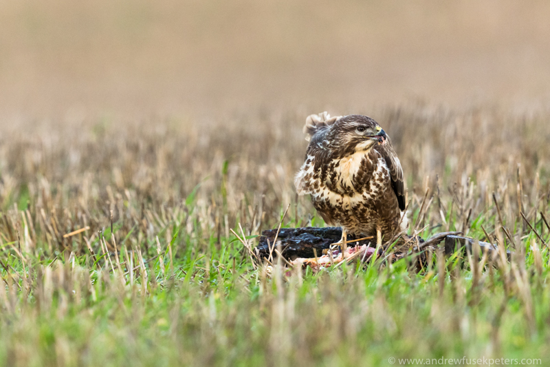 Buzzard feeding on pheasant 2 - UK Birds of Prey
