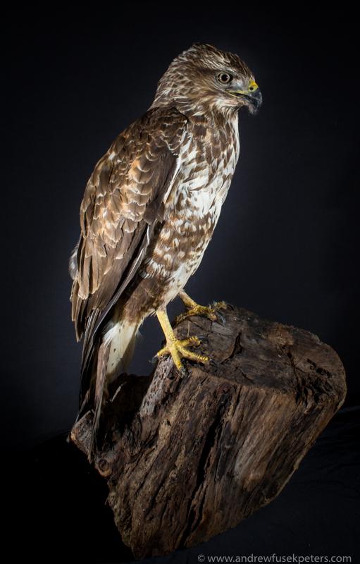Road impact buzzard rescue portrait - UK Birds of Prey