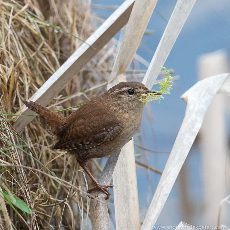 Wren with nesting material - UK Birds