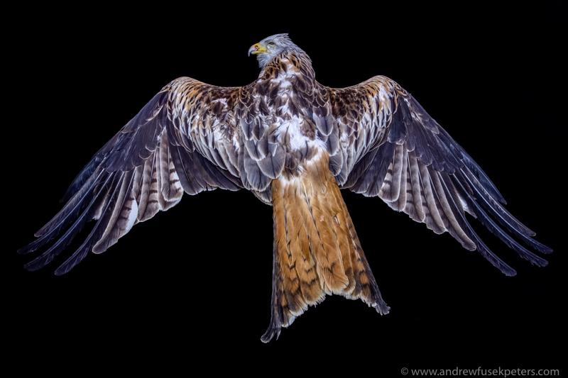 Roadkilled kite portrait - UK Birds of Prey