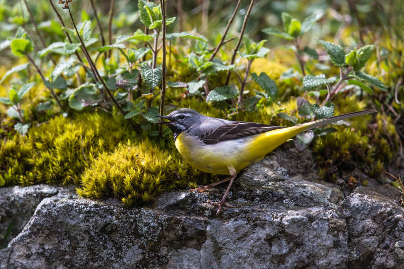 Grey wagtail at Lightspout Waterfall - Wilderland, Wildlife & Wonder from the Shropshire Borders