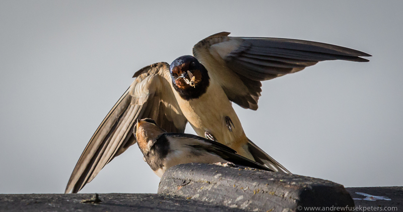 Swallow feeding on our roof 2 - Garden Birds
