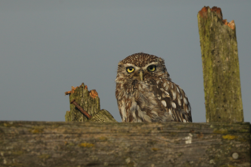 little owl evening light 2 - UK Owls