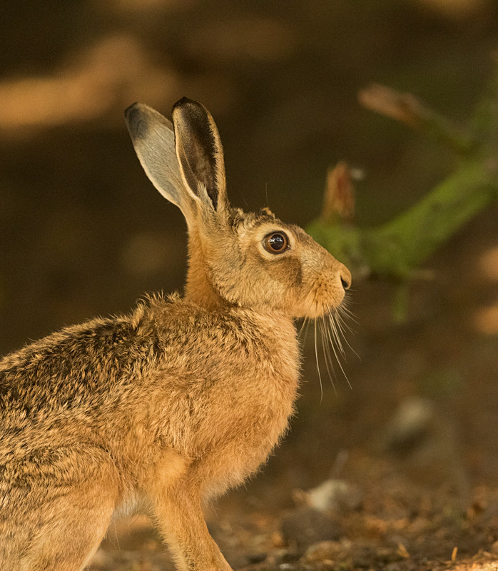 Hare on the Mynd - Hares