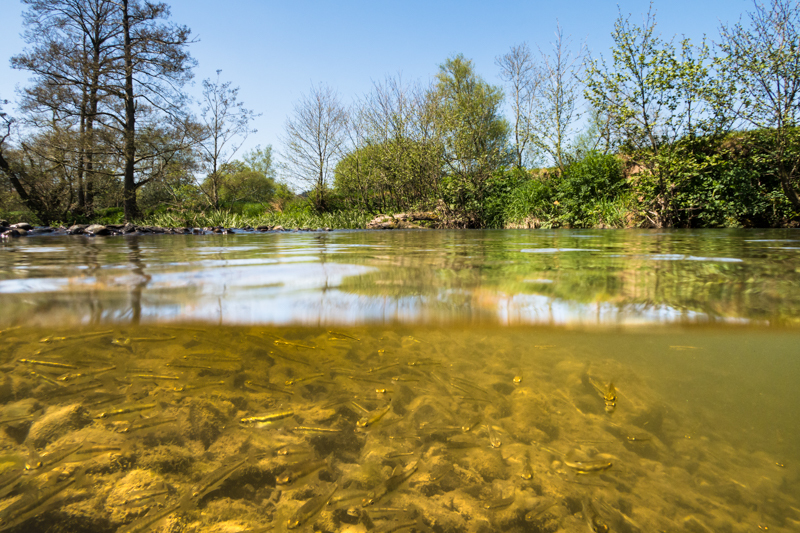 Minnows in the Clun River - Wide-angle Wildlife