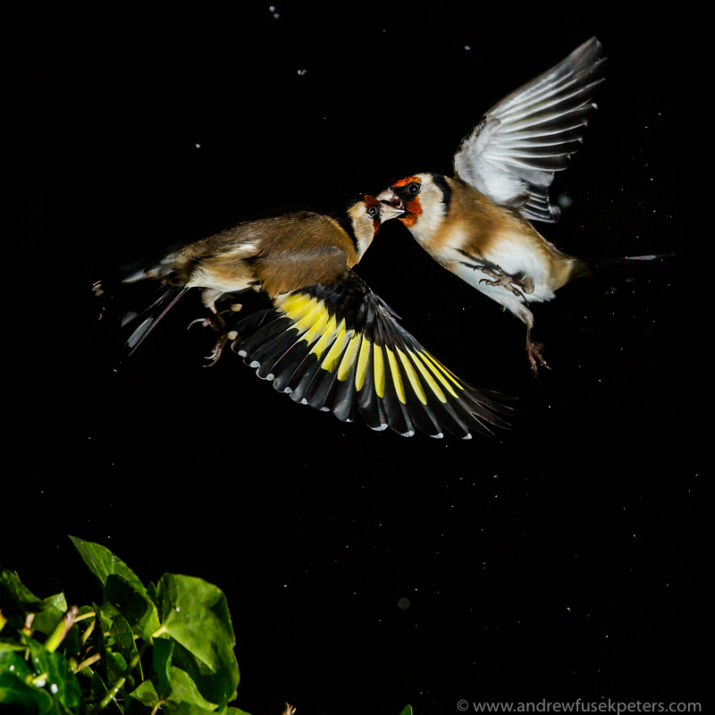 Goldfinches fighting in the snow - Garden Birds