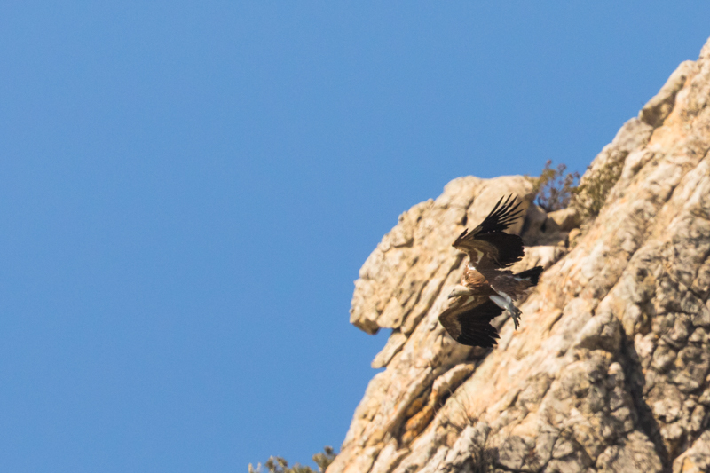 Griffon Vulture Colony near Tarifa-7 - Spain and Vulture/Eagle Migration October 2017