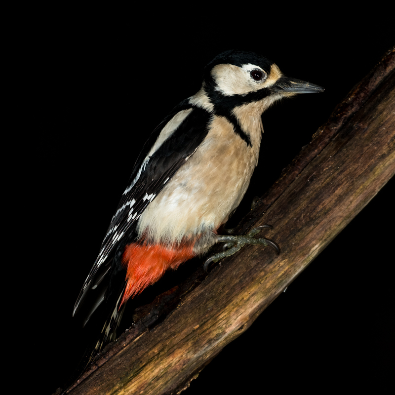 Great spotted woodpecker portrait - Garden Birds