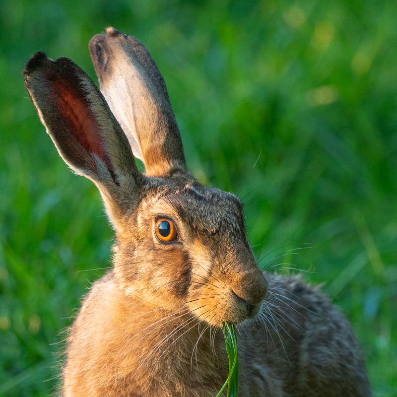 hare at sunset portrait - Olympus Wildlife