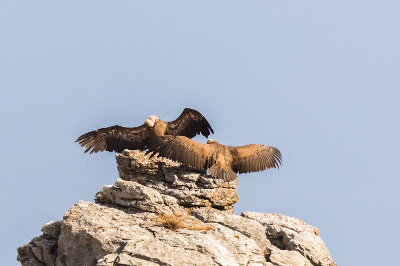 Griffon vulture colony near Tarifa-2 - Spain and Vulture/Eagle Migration October 2017