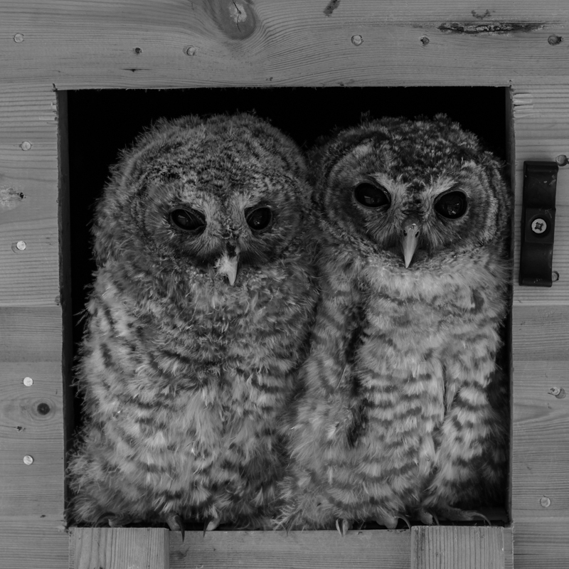 A pair of rescue tawny owls - Cuan Wildlife Rescue