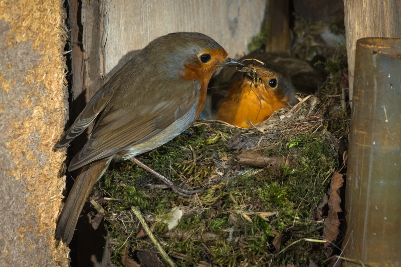 Male robin bringing crane fly to female and fledglings - Wilderland, Wildlife & Wonder from the Shropshire Borders