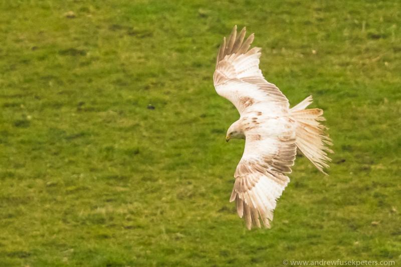 Leucistic White Kite near Stiperstones 2 - UK Hawks
