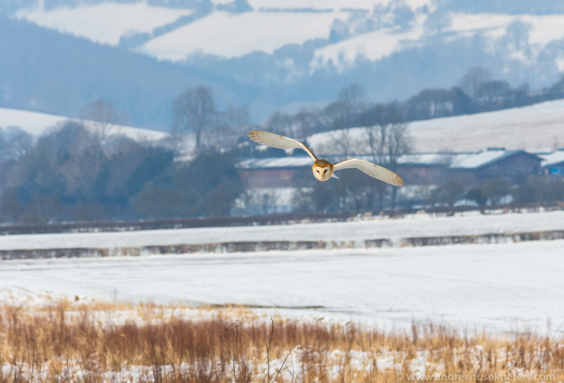 Barn owl in the snowy Shropshire Hills 8 - UK Owls