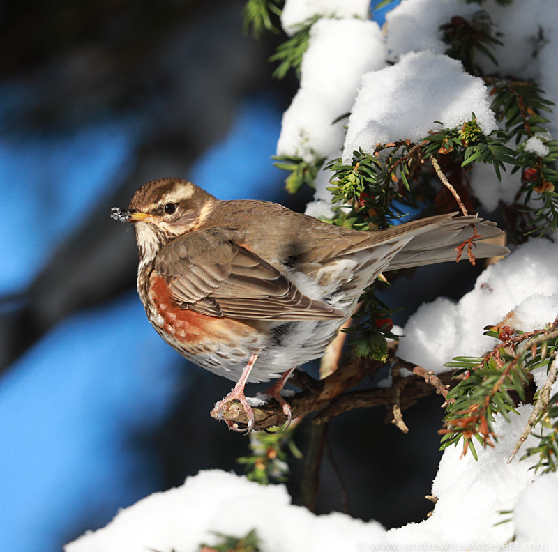 Redwing in the snow - UK Birds