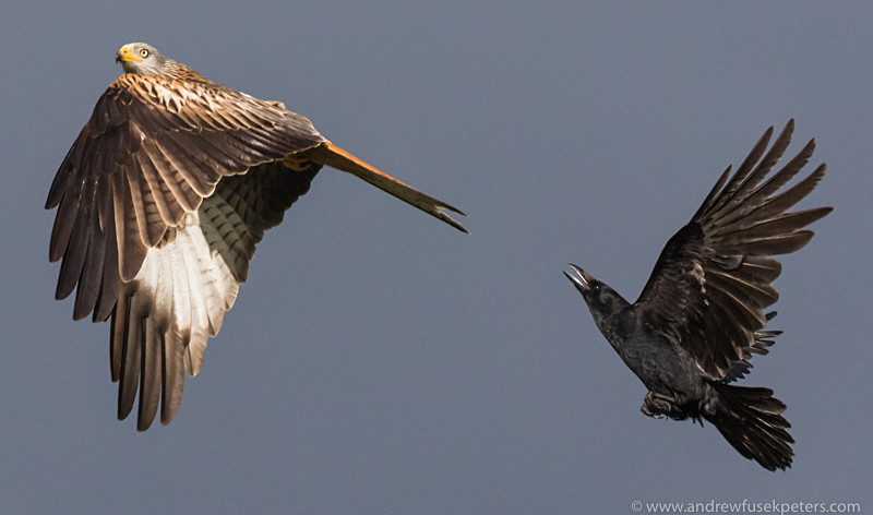 Red kite and crow in storm light, Wentnor - Upland, Shropshire's Long Mynd & Stiperstones