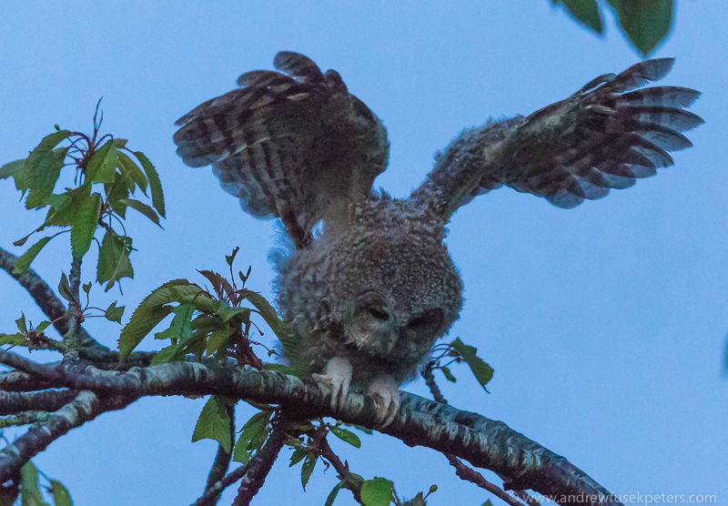 Tawny chick trying wings - UK Owls