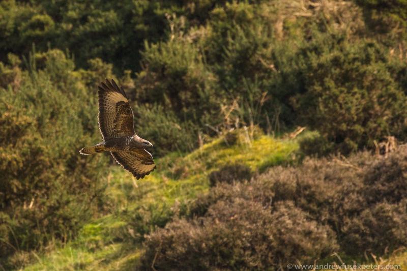 Buzzard flying along Mynd ridge March - UK Birds of Prey