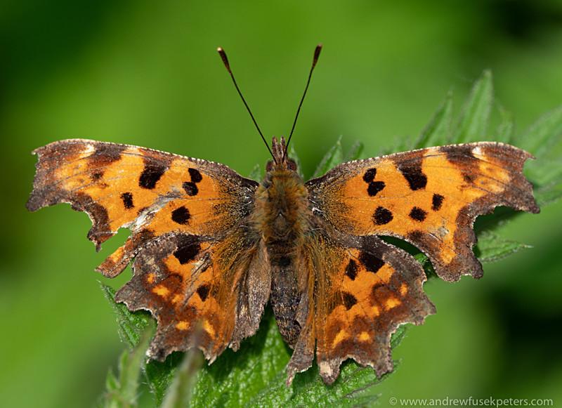 Comma butterfly, FSC Shrewsbury - Olympus Wildlife