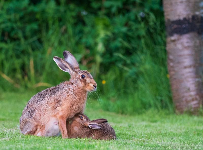 hare suckling leveret - Olympus Wildlife