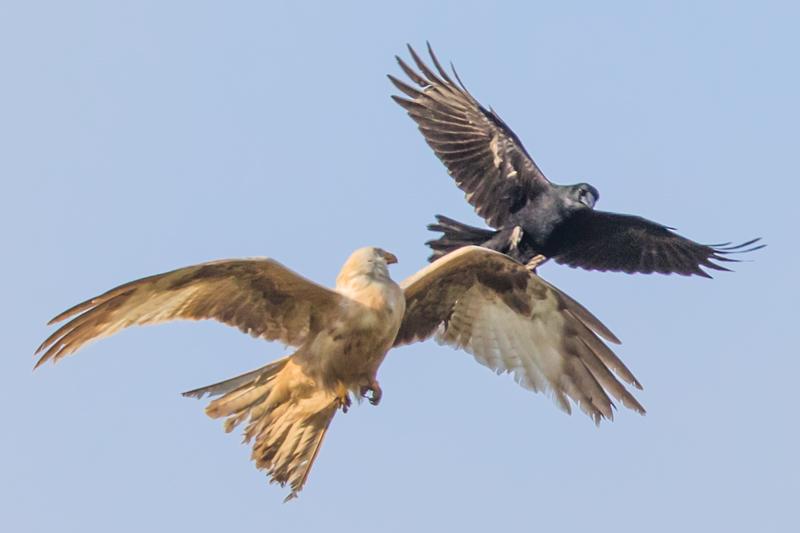 Leucistic white kite mobbed by crow - Showcase
