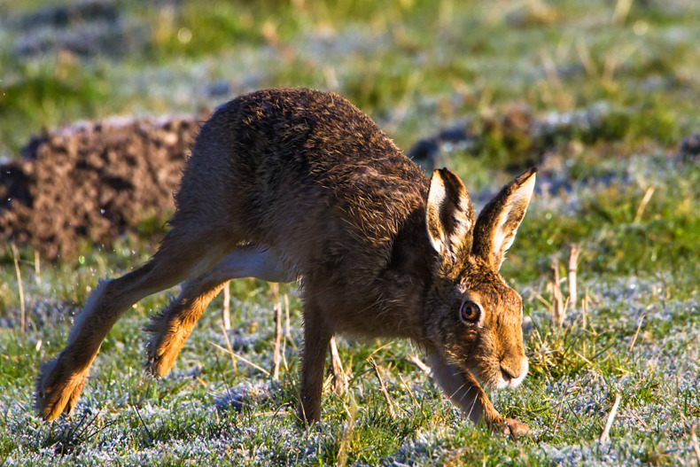 Hare in the frosted dawn - Hares
