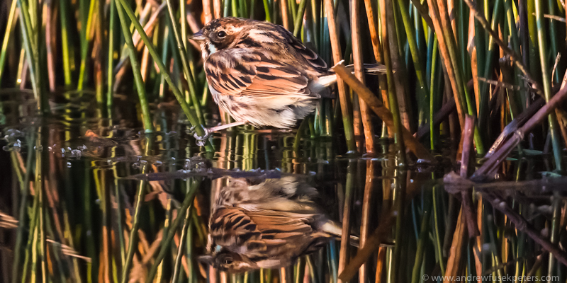 Reed bunting reflected Long Mynd - UK Birds