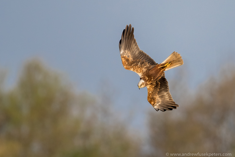 Far Ings marsh harrier diving - UK Birds of Prey