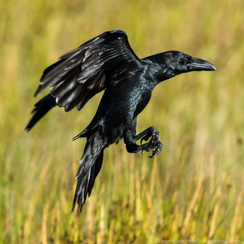 Raven in the morning light Long Mynd Late Summer 1 - UK Birds