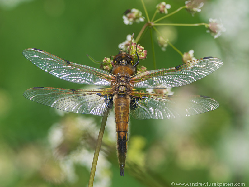 4 spotted Chaser - Olympus Wildlife