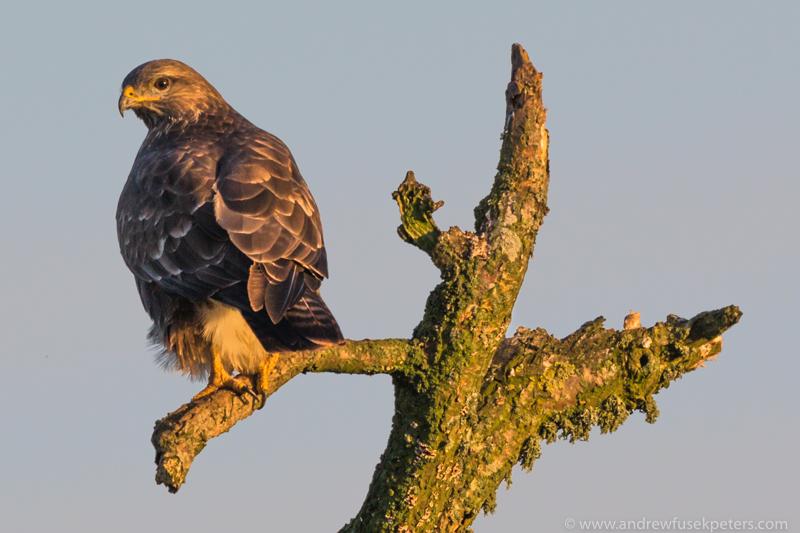 Buzzard at sunset Autumn - UK Hawks