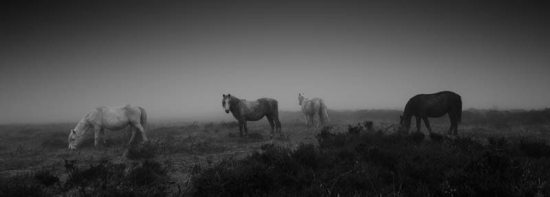 Wild ponies on the Long Mynd - Wilderland, Wildlife & Wonder from the Shropshire Borders