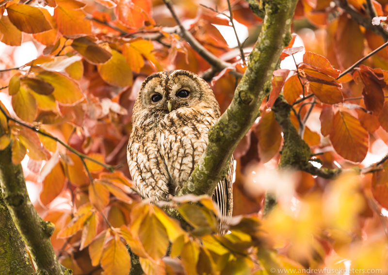 Tawny adult in the tree - UK Owls