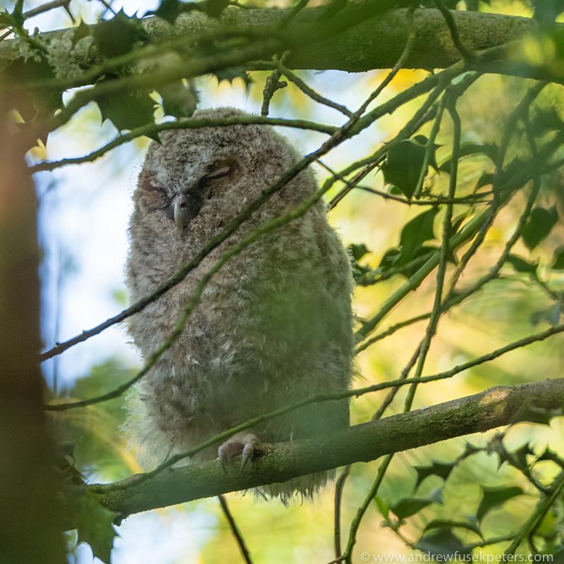 Tawny owlet portrait - Olympus Wildlife