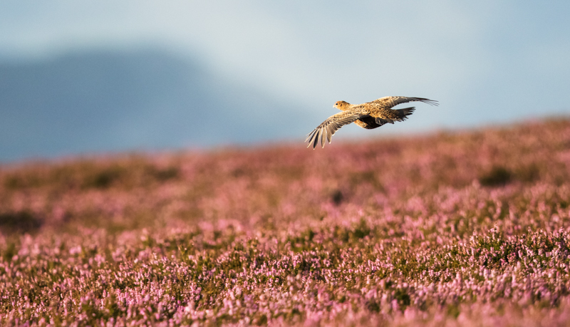 Red grouse flying - Upland, Shropshire's Long Mynd & Stiperstones