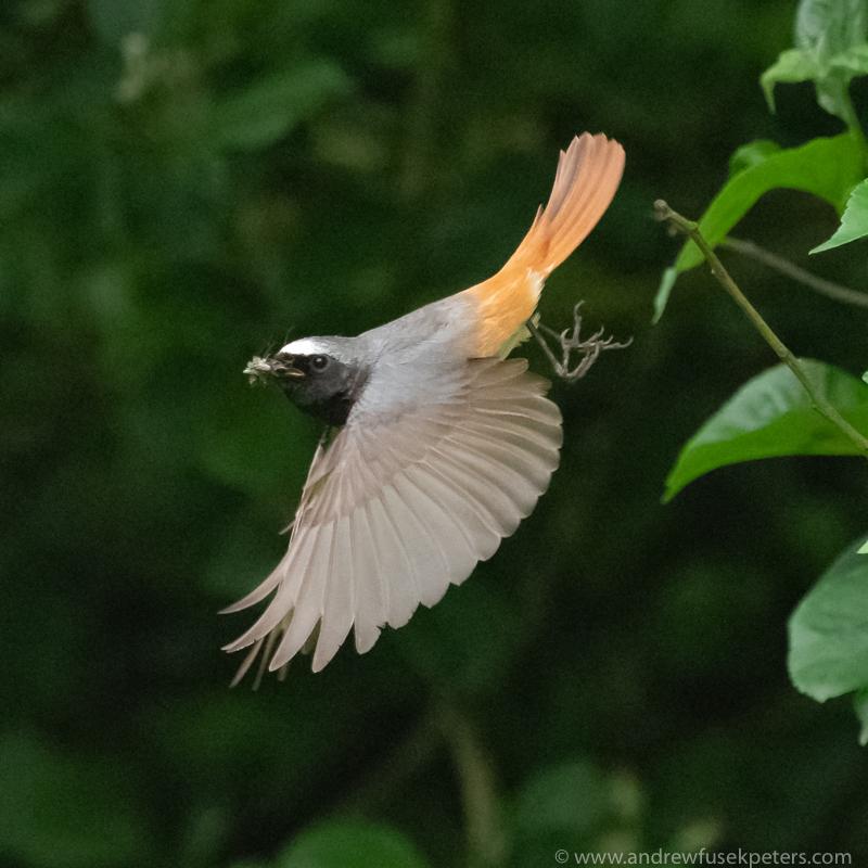 redstart take off - Olympus Wildlife