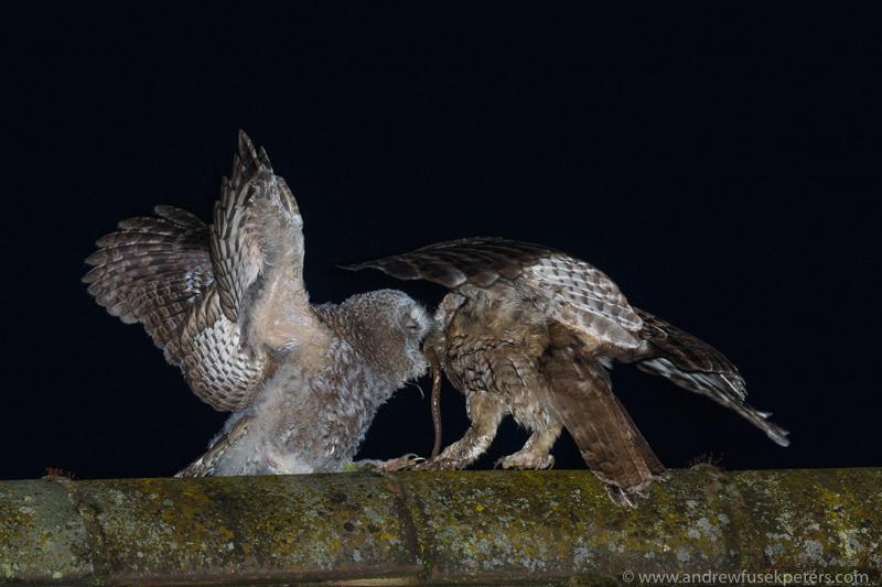 Tawny chick and mum 2 - UK Owls
