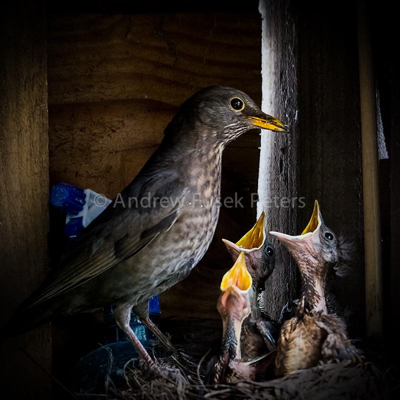 Blackbird chicks - Wilderland, Wildlife & Wonder from the Shropshire Borders