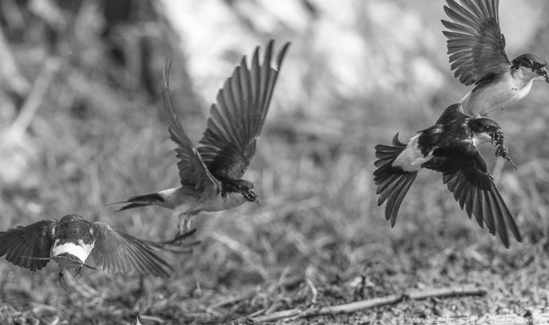housemartins mud gathering - Garden Birds