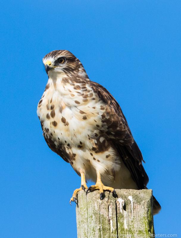 Buzzard on post Stiperstones - UK Birds of Prey