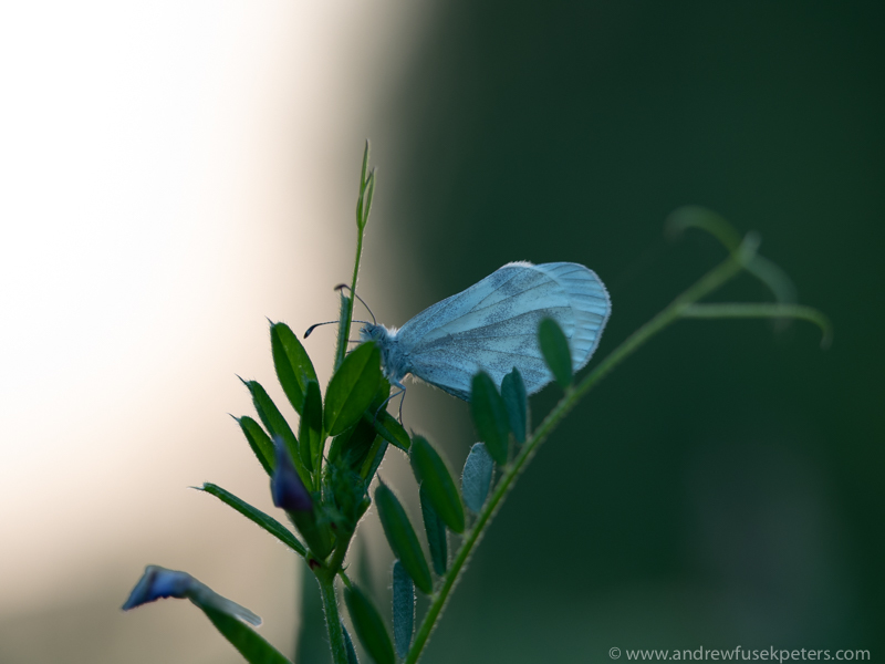 wood white butterfly at dusk - Olympus Wildlife