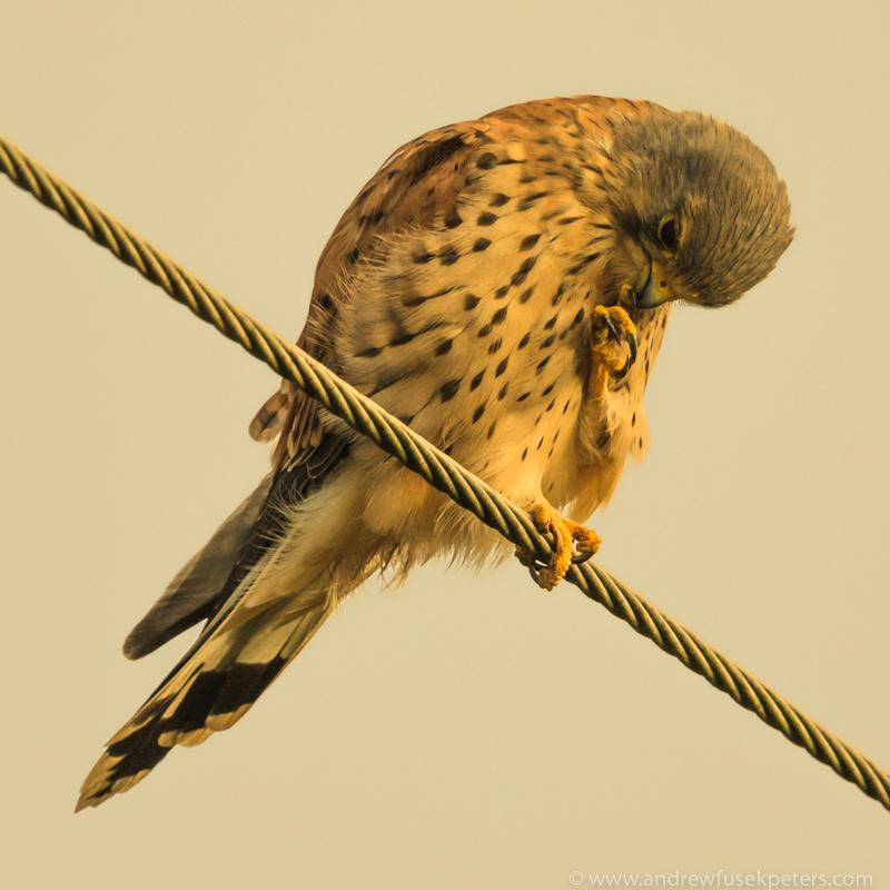 kestrel in stormlight 3 - UK Hawks